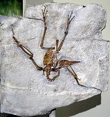 view Pseudocrypturus cercanaxius Houde digital asset number 1