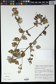 view Sebastiania heterodoxa (Müll. Arg.) Benth. digital asset number 1