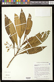 view Cyrtandra longifolia (Wawra) Hillebr. ex C.B. Clarke digital asset number 1