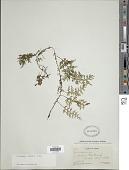 view Polyphlebium diaphanum (H.B.K.) Ebihara & Dubuisson digital asset number 1