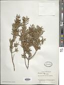 view Podocarpus totara D. Don digital asset number 1