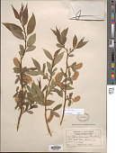 view Salix serissima (L.H. Bailey) Fernald digital asset number 1