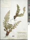 view Polystichum lobatum digital asset number 1