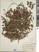 view Lygodium microphyllum (Cav.) Aiton digital asset number 1