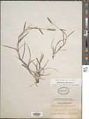 view Alopecurus geniculatus L. digital asset number 1