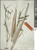 view Bambusa textilis McClure digital asset number 1