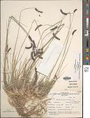 view Bouteloua gracilis (Kunth) Lag. ex Griffiths digital asset number 1