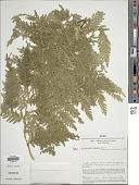 view Selaginella exaltata (Kunze) Spring digital asset number 1