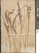 view Calamagrostis arundinacea (L.) Roth digital asset number 1