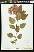 view Hibiscus rosa-sinensis L. digital asset number 1