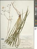 view Libertia grandiflora (Aiton) Sweet digital asset number 1