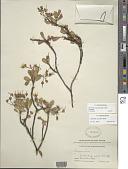 view Geranium cuneatum Hook. subsp. cuneatum digital asset number 1