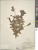 view Ligustrum salicinum Nakai digital asset number 1