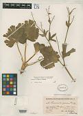 view Ranunculus caprarum Skottsb. digital asset number 1