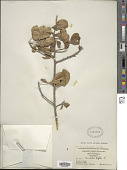 view Trichilia trifolia subsp. trifolia L. digital asset number 1