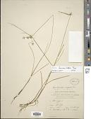 view Cyperus lanceolatus Poir. digital asset number 1