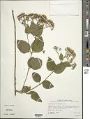 view Koanophyllon polyodon (Urb.) R.M. King & H. Rob. digital asset number 1