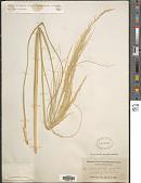view Sporobolus arenicola P.M. Peterson digital asset number 1