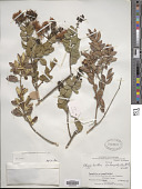 view Notanthera heterophyllus G. Don digital asset number 1