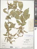 view Monnina hirta subsp. cuspidata (Benth.) B. Eriksen digital asset number 1