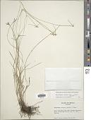 view Rhynchospora radicans (Schltdl. & Cham.) H. Pfeiff. digital asset number 1