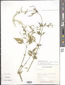 view Iresine diffusa Humb. & Bonpl. ex Willd. digital asset number 1