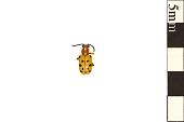view Twelve-spotted Asparagus Beetle digital asset number 1