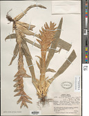 view Tillandsia heliconioides Kunth digital asset number 1