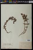view Acisanthera alsinaefolia (DC.) Triana digital asset number 1