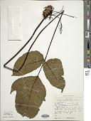 view Tectaria angulata (Willd.) Copel. digital asset number 1