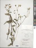 view Helianthus microcephalus Torr. & A. Gray digital asset number 1