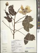 view Cochlospermum vitifolium (Willd.) Spreng. digital asset number 1