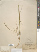 view Schizachne purpurascens (Torr.) Swallen digital asset number 1