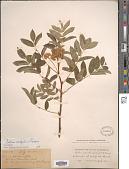 view Sorbus scopulina Greene digital asset number 1