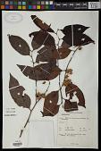 view Chaetocarpus sp. digital asset number 1