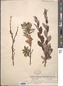 view Salix bicolor var. angustifolia digital asset number 1