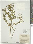 view Pterogastra divaricata (Bonpl.) Naudin digital asset number 1