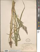 view Calamagrostis canadensis var. langsdorffii (Link) Inman digital asset number 1