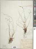 view Carex brachystachys Schrank digital asset number 1