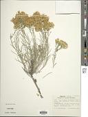 view Ericameria nauseosa var. speciosa (Nutt.) G.L. Nesom & G.I. Baird digital asset number 1