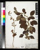 view Dendrolobium umbellatum (L.) Benth. digital asset number 1