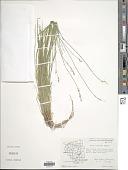 view Carex bromoides Willd. digital asset number 1