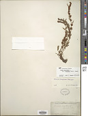 view Rumex maritimus var. fueginus (Phil.) Dusén digital asset number 1