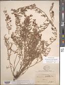 view Krameria lanceolata Torr. digital asset number 1