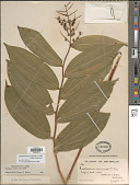 view Maianthemum racemosum (L.) Link subsp. racemosum digital asset number 1