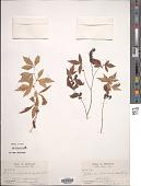 view Porteranthus stipulatus (Muhl. ex Willd.) Britton digital asset number 1