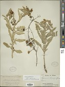 view Solanum elaeagnifolium Cav. digital asset number 1