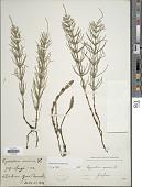 view Equisetum arvense L. digital asset number 1