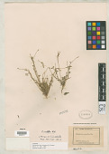 view Eschscholzia minuscula Greene digital asset number 1