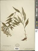 view Symphyotrichum lowrieanum (Porter) G.L. Nesom digital asset number 1